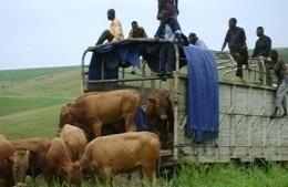 Arrivo di genitori bovini migliorati a Feshi