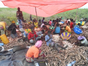 Femmes en train d'éplucher le manioc avant le rouissage